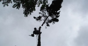 emondage-arbre
