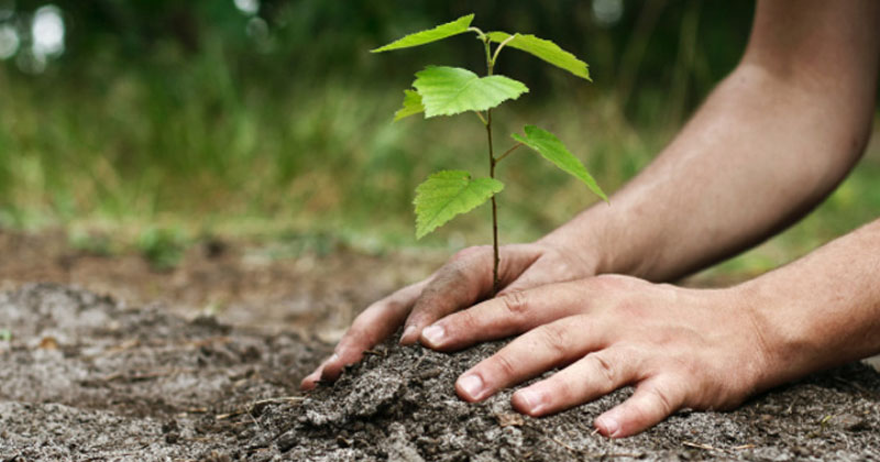 Plantation d 39 arbres sherbrooke services d 39 abres gamelin - Plantation d arbres synonyme ...