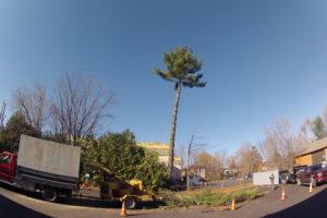 Travaux d'abattage de pin blanc à Magog